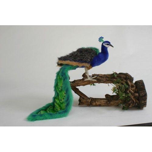 Peacock,40''long Tail X13'h''